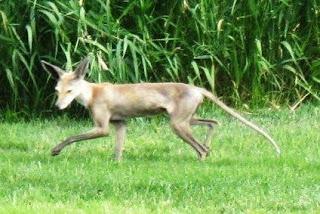 Quel est cet animal? Un hybride? Hybride