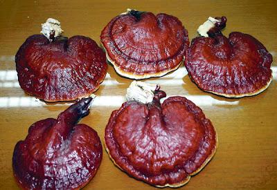 Khasiat Cendawan Ling Zhi, (Ganoderma lucidum)