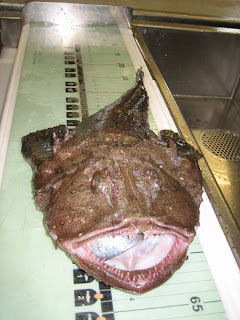 A goosefish or monkfish (Lophius americanus) is measured at sea. Credit: NOAA