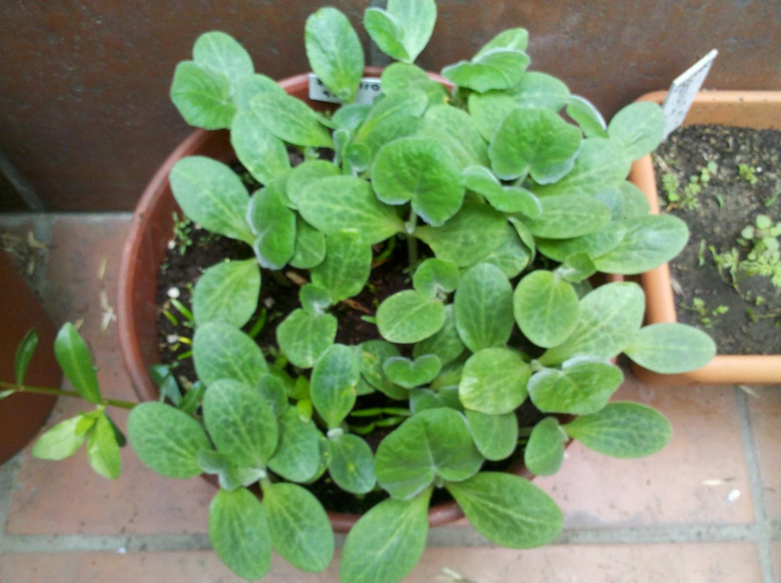 Pies en la tierra crecimiento veloz de planta de zapallo - Hierba luisa en maceta ...