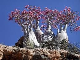Socotra, Republic of Yemen.