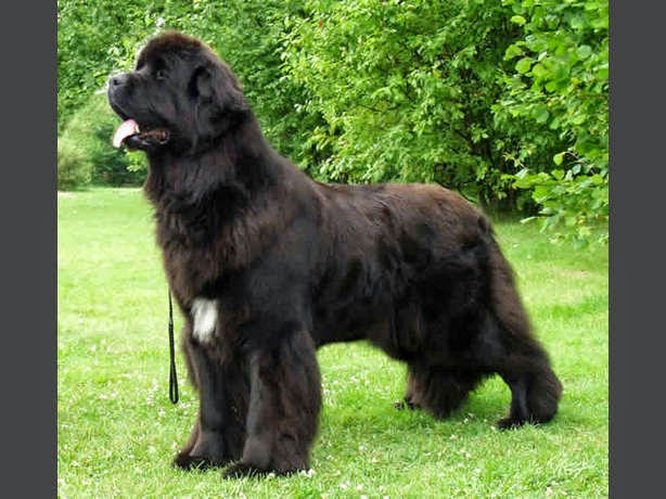 tipos de perros, razas de perros grandes, razas de perros gigantes, disfraces para perros