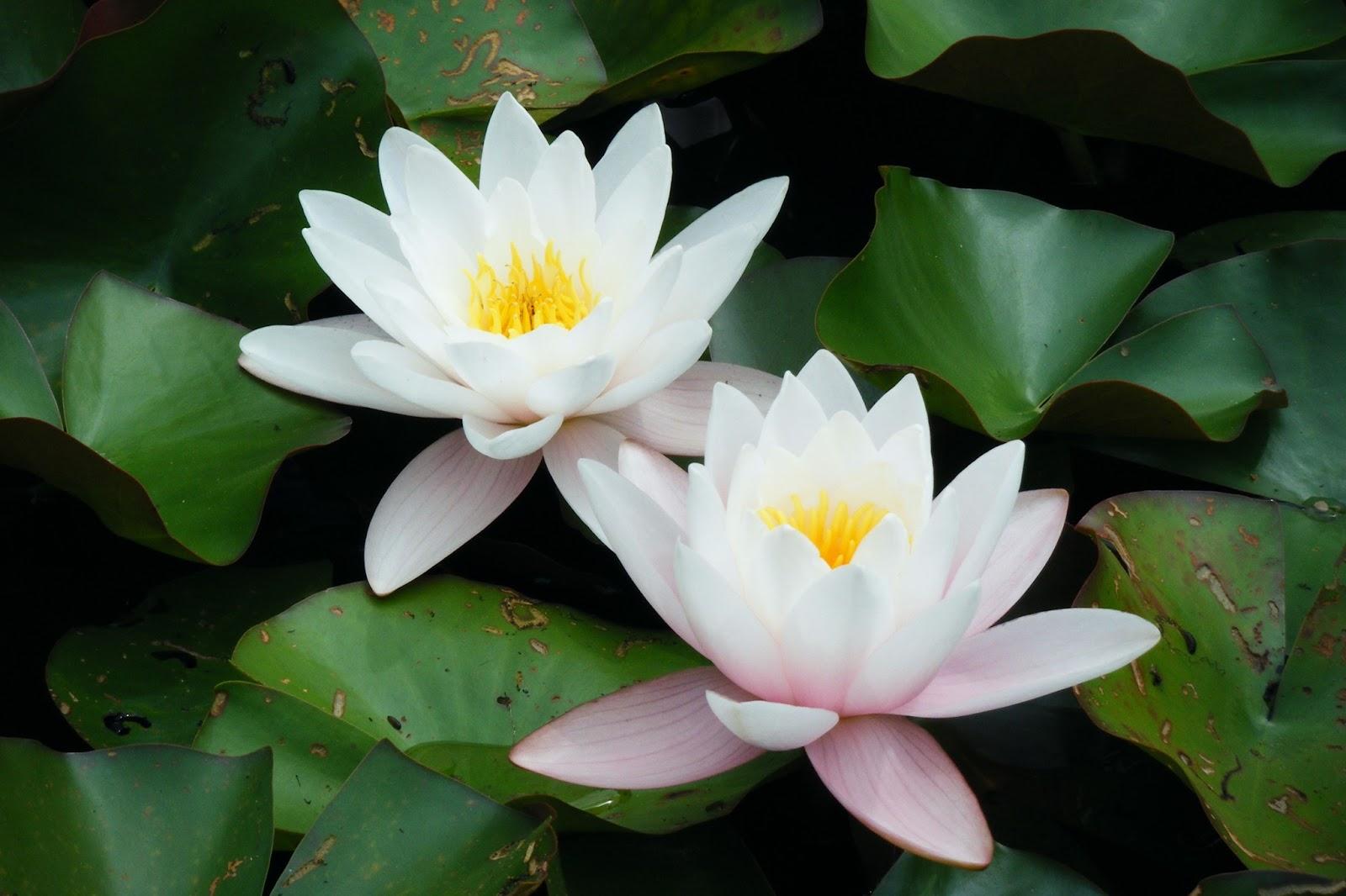 Lotus Flower Hd Wallpapers Hd Wallpapers High