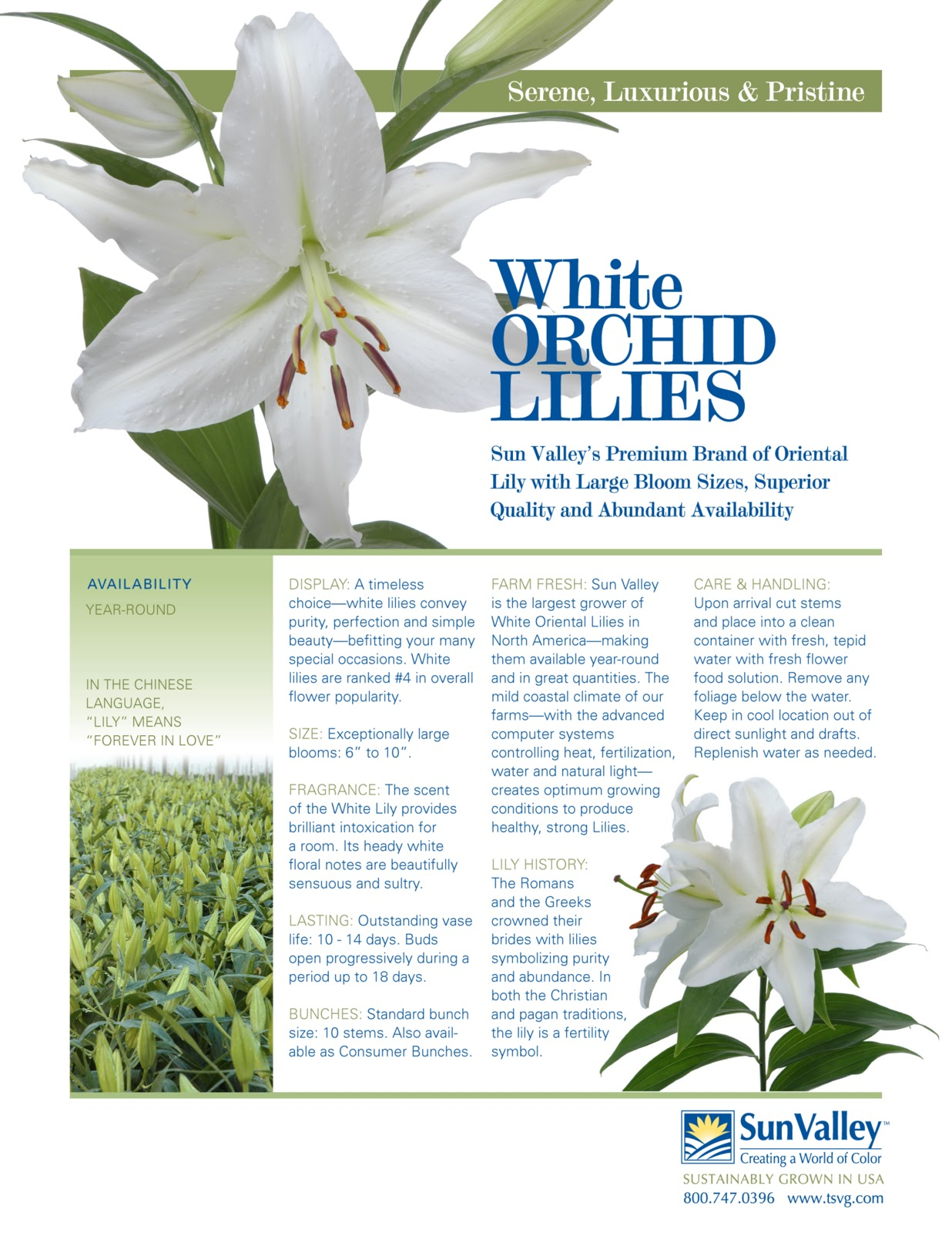 Learn About White Oriental Lilies Flower Talk
