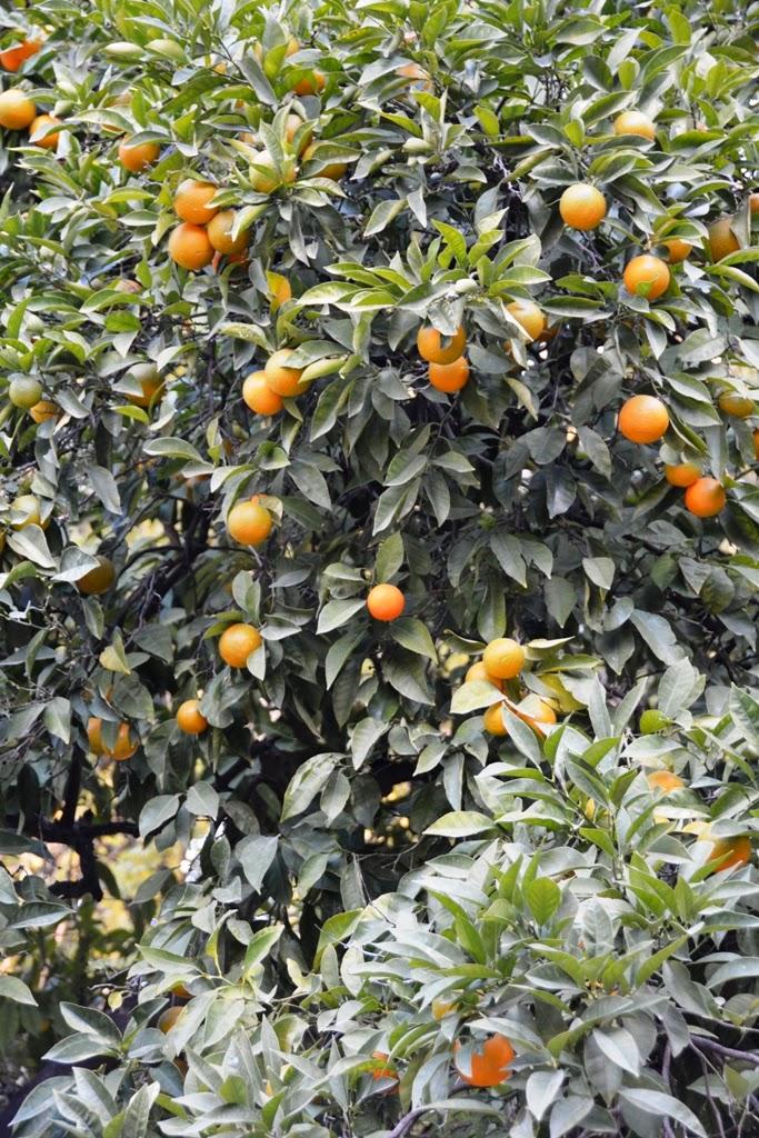 Murillo Garden Sevilla oranges