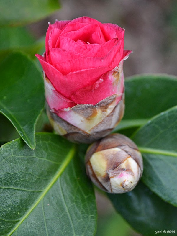 spirited by espionage gallery - camellia bud