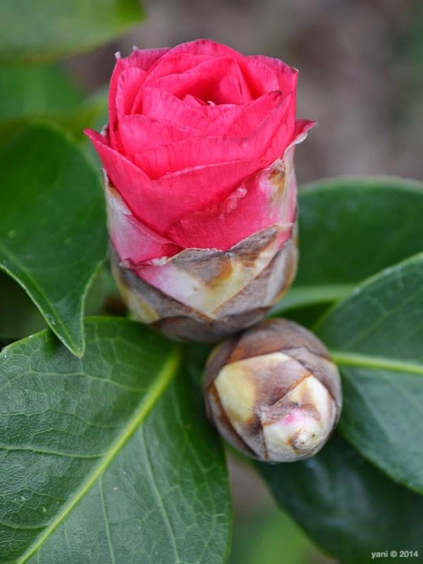 spirited by espionage gallery - camellia bud