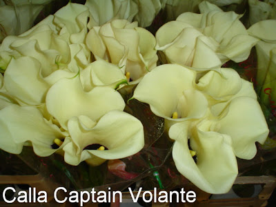 Calla Captain Volante photo