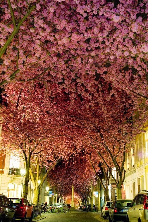 Street of Blossom Trees