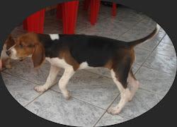 foxhound americano 120 dias