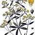 La Robbia, secondo Dioscoride e Galeno; note sull'uso della pianta nella tintura dei tessuti