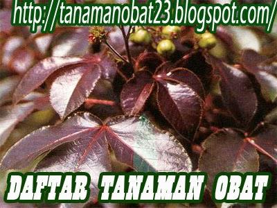 Tanaman Obat Jarak Ulung (Jatropha gossypifolia L.)