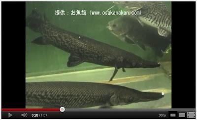 鱷雀鱔 幽靈魚