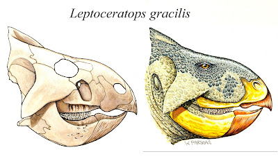 Leptoceratops skull