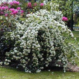 Vida a lo verde living in green ideas de plantas que - Arbre boule de neige ...