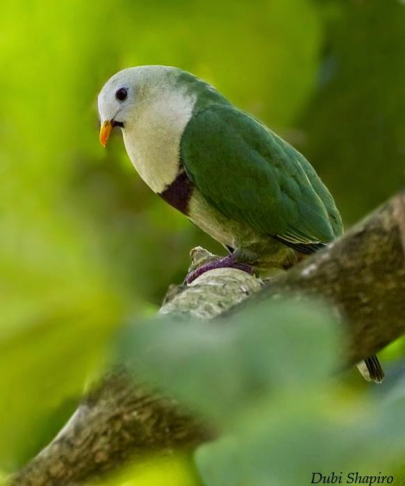 Black chinned fruit dove