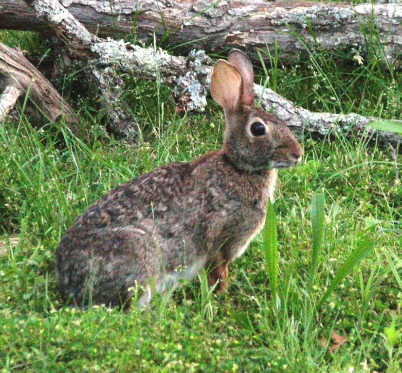 Wild Backyard Rabbits : The Divinebunbun Comedy Poetry Bird and Bunny Ozark Foothills Log