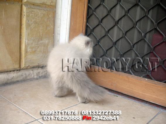 Hamster Dan Kucing Persia Murah Surabaya Di Jua L Kucing