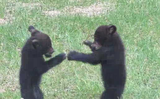 Wild Baby Bears Play Fight In Backyard And Its So Cute (VIDEO)