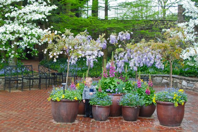 Pot display below the Open Air Theater featuring standard Wisterias and the upturned foxglove, Digitalis 'Candy Mountain'.