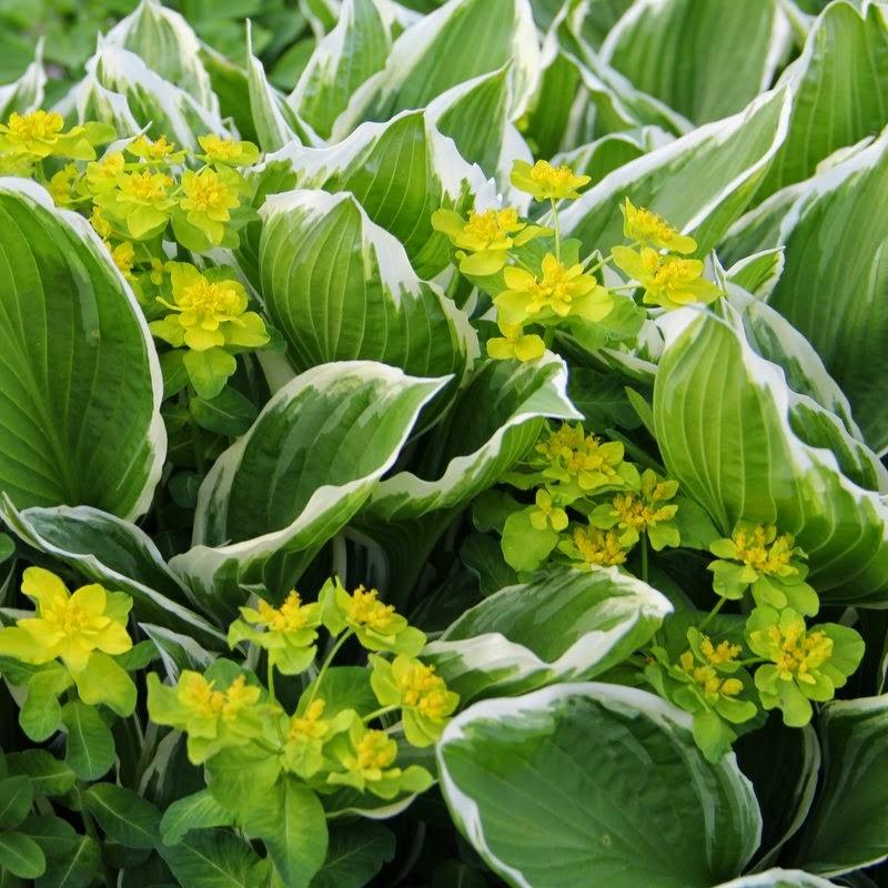 Gulltörel Euphorbia polycroma