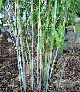 Nepalese Blue Bamboo or Himalayacalamus porcatus