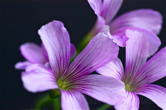 Oxalis flowers