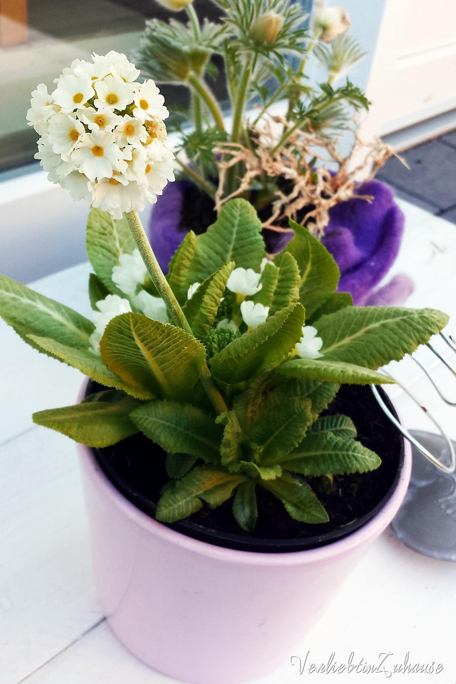 Frühjahrsblüher weiße Primel und weiße Anemone im rosa Übertopf und lila Filz
