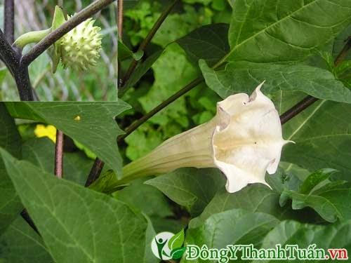 Mẹo chữa viêm mũi dị ứng tại nhà từ lá cà độc dược