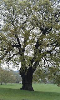 Quercus robur - Oak Tree Brockwell Park Around Canopy