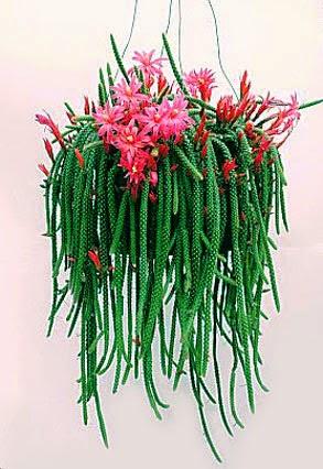 Aporocactus flagelliformis - Rat Tail Cactus