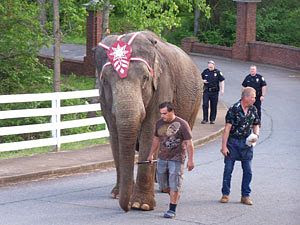 A sad true story about an elephant