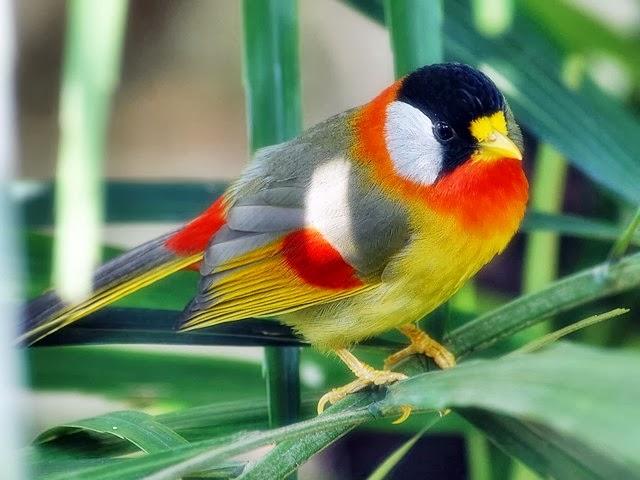 Kumpulan kicau burung ~ Kesenian Indonesia,Melestarikan