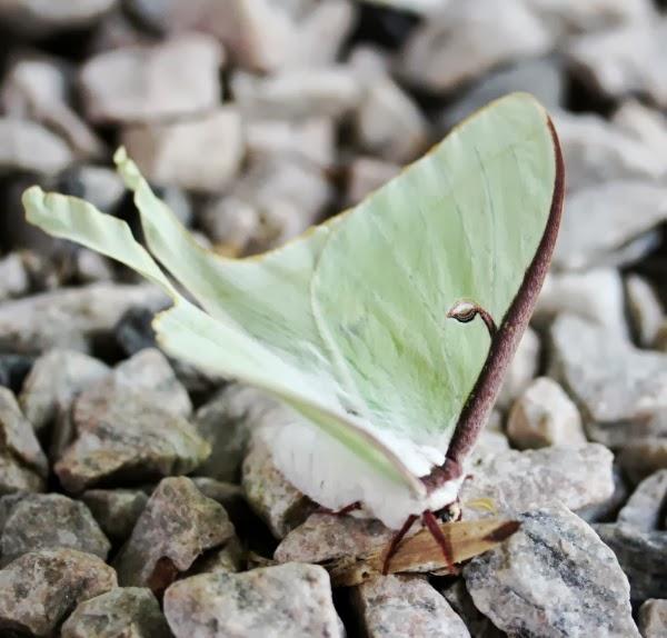 Beautiful Moth ~ Photo by ChatterBlossom #moth #nature