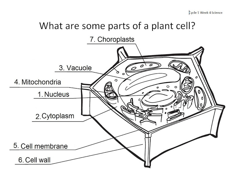 pin plant cell diagram unlabeled on pinterest