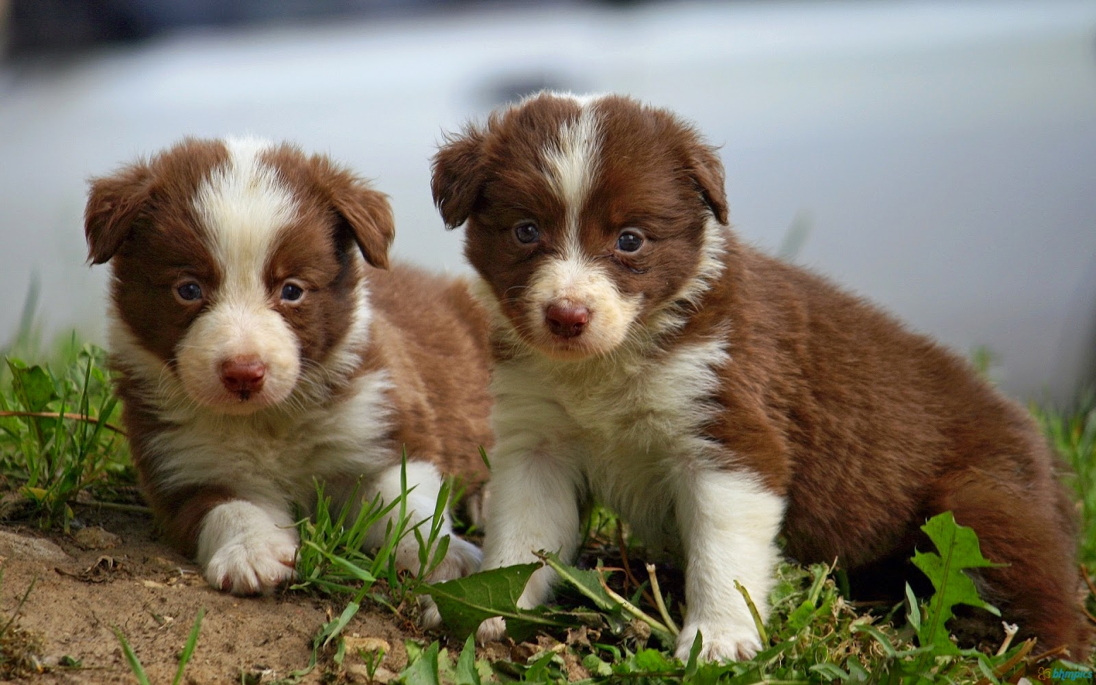 Border Collie Puppies Lol Picture Collection