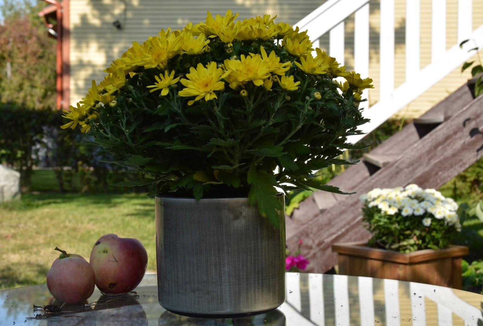 krysantemum, höst