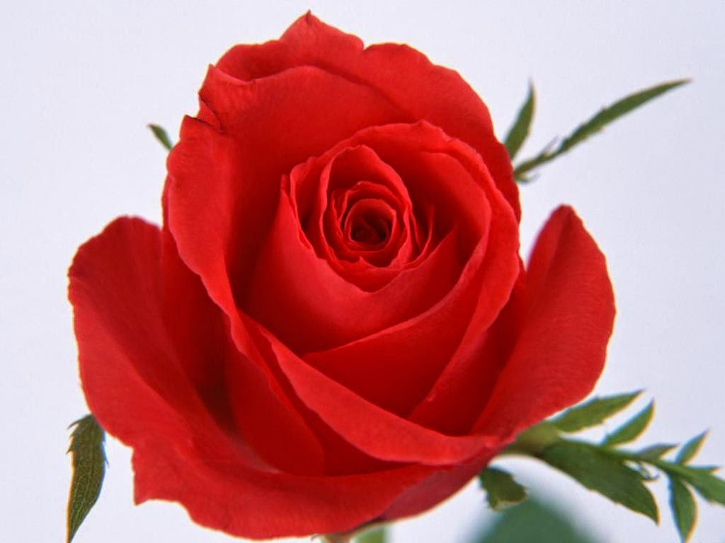 Rose Colors And Their Meanings Information Brought To You From