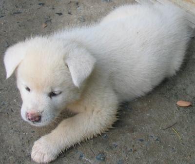 Fotos de cachorros: Filhotes de Akita Inu