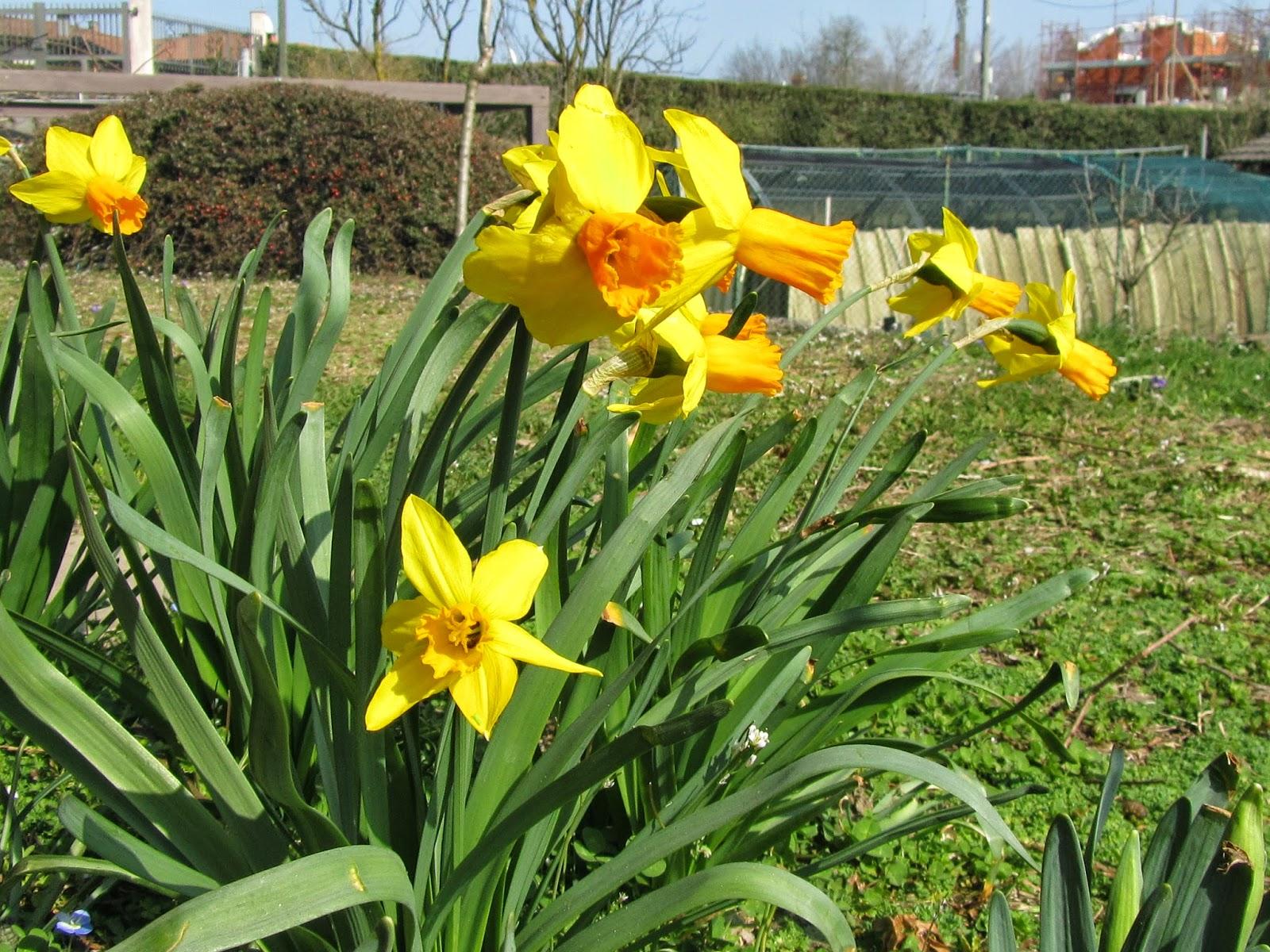 Narcissus narcisi e il risveglio della primavera come for Narciso giallo