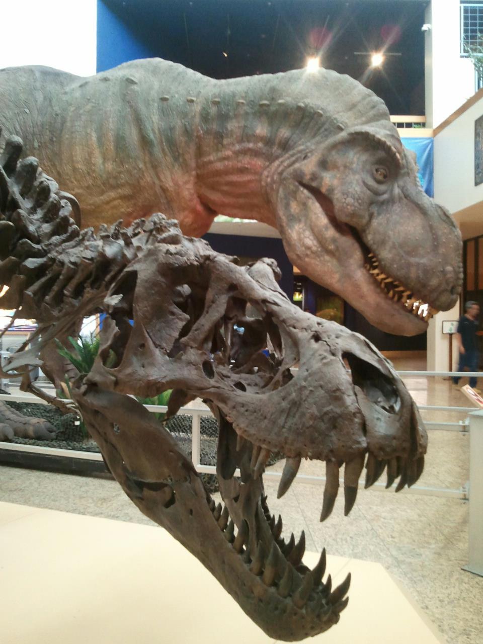 Specimens of Tyrannosaurus  Wikipedia