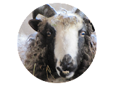 about our sheep