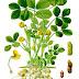 Peanuts - Health Benefits