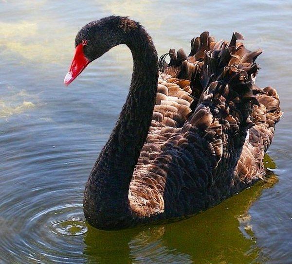 фото, фотографии, лебеди