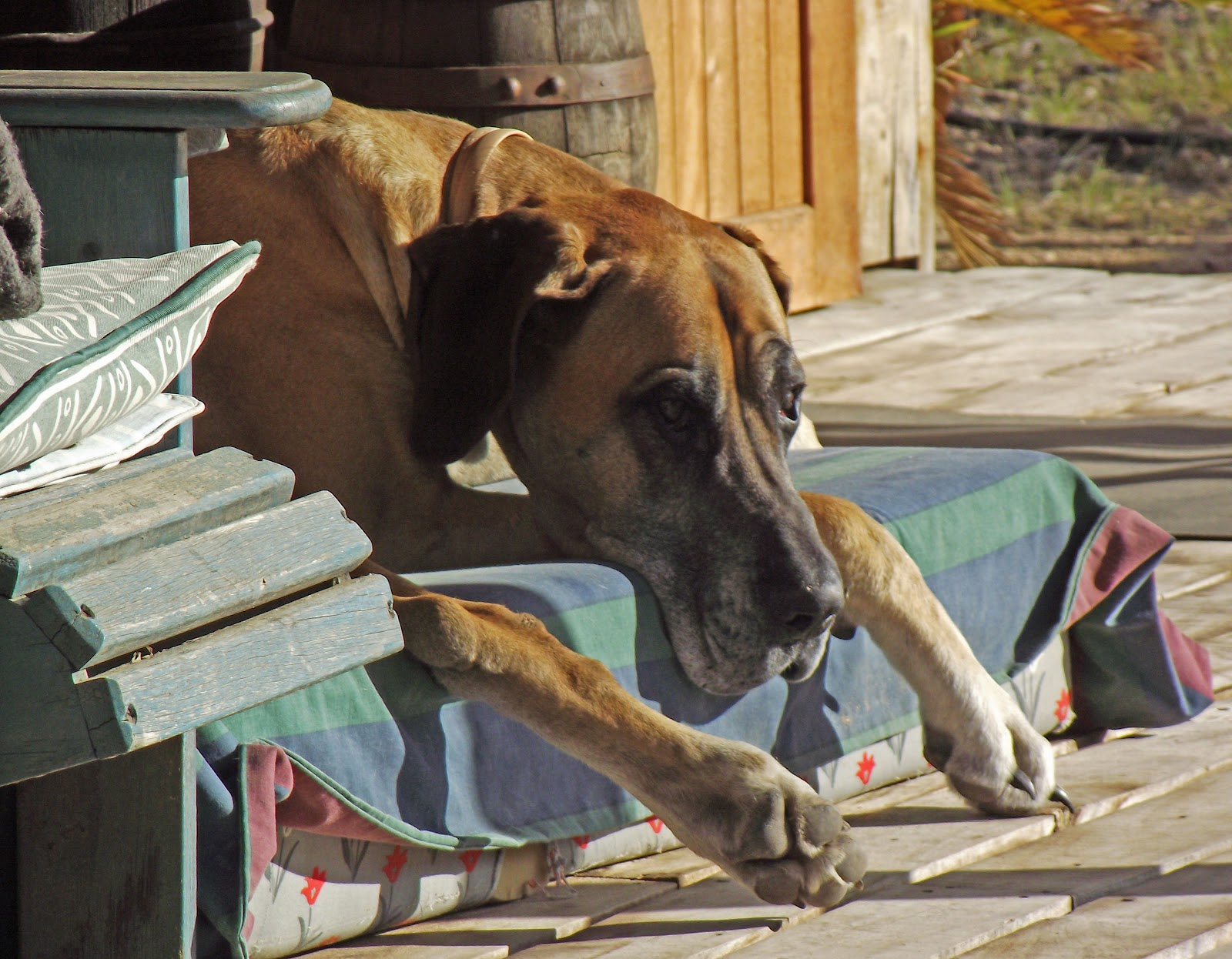 Great-Dane-in-the-Outeniqua