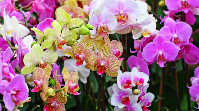 bunga anggrek - Jenis Jenis Flora Dan Fauna