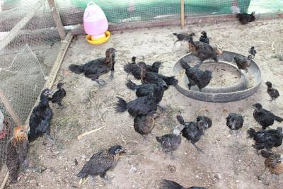 ขายไก่ดำ