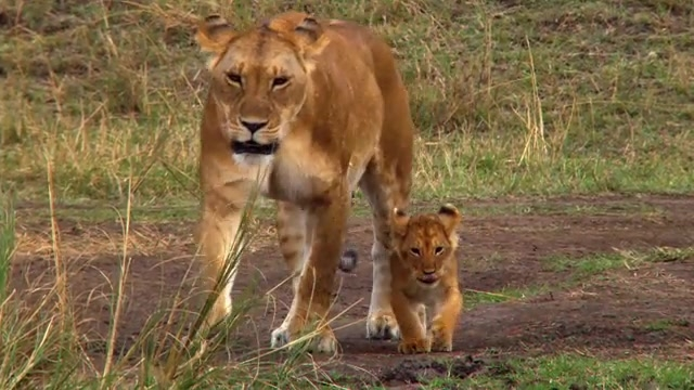 Cute Baby Photos Funny Animal Pictures Wild Safari Lions