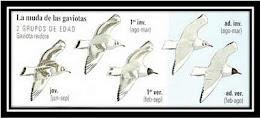 Guia visual de gaviotas