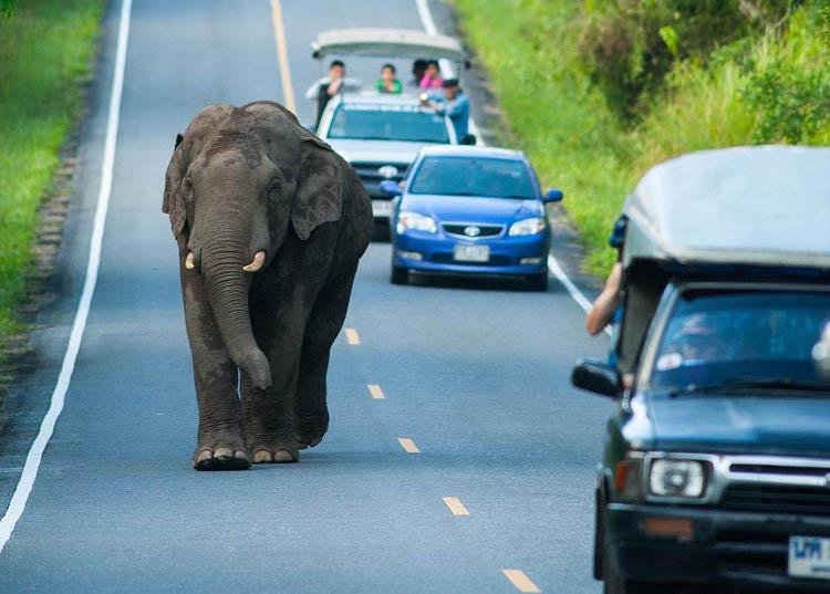 Большой слон на дороге